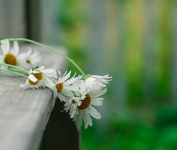 daisies lie on a wooden podium